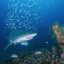 Shark by a shipwreck